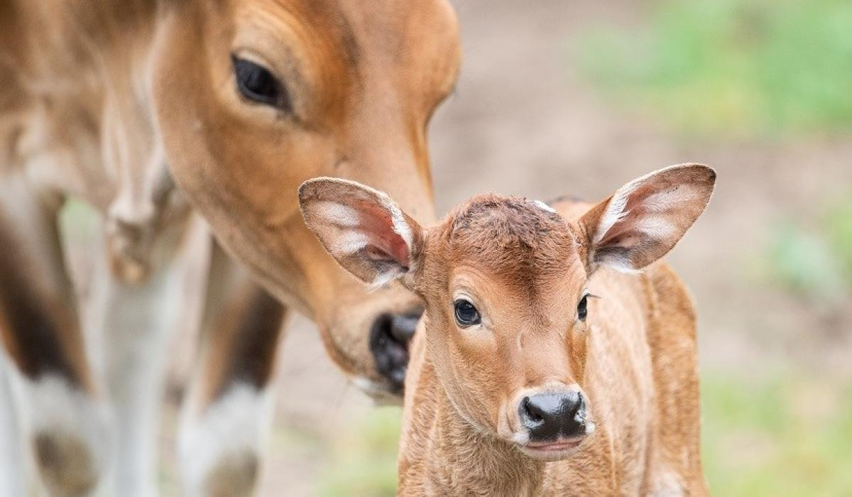 Bantengi – gatunek azjatyckiego bydła