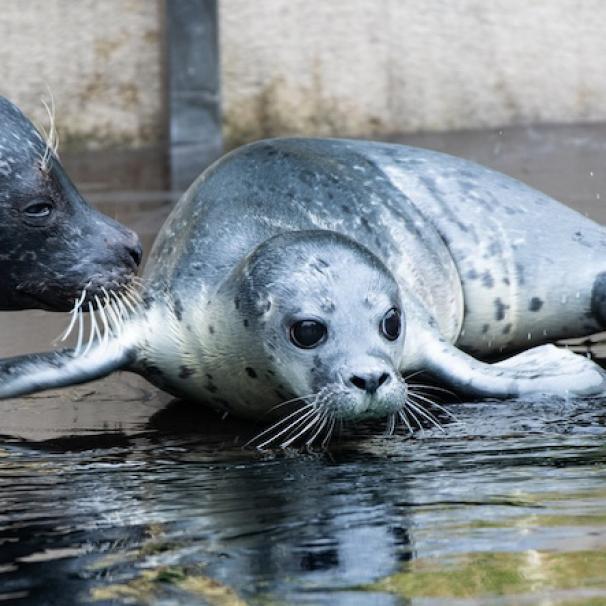 W Zoo urodziły się foki