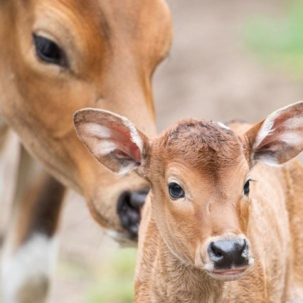 We wrocławskim Zoo urodziły się jedne z najrzadszych krów świata