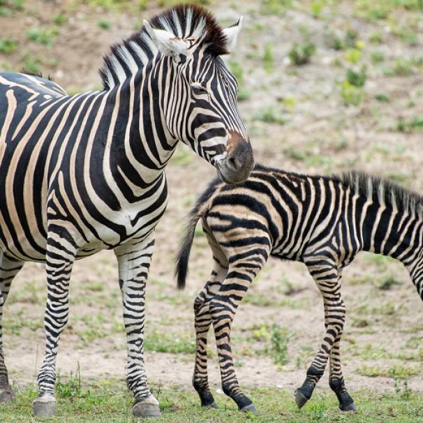 Trzy małe zebry nową atrakcją wrocławskiego zoo